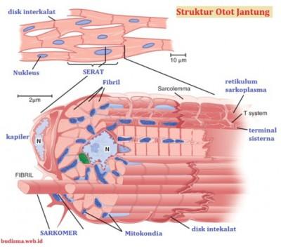 Struktur otot jantung