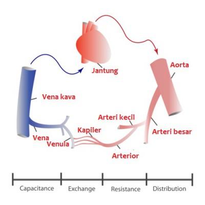 arteri, vena, kapiler