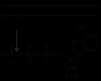 Pengertian dan fungsi ATP (Adenosin Trifosfat) 1