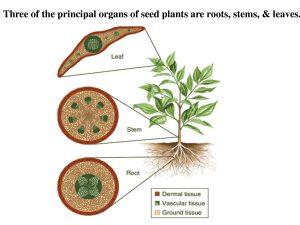 jaringan pada tumbuhan