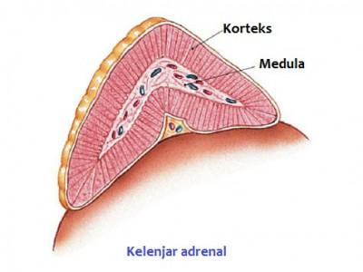 Hormon Korteks adrenal dan fungsinya 1