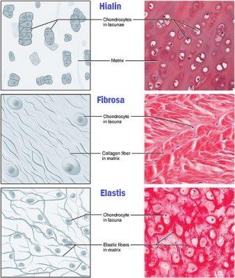 Perbedaan tulang rawan hialin, fibrosa dan elastis