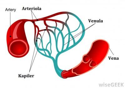 jenis pembuluh darah
