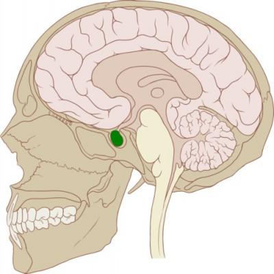 Apakah fungsi Kelenjar pituitari