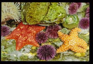Landak laut dan Bintang laut