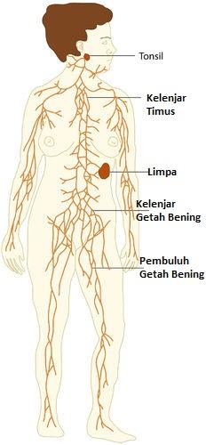 Organ Sistem Limfatik