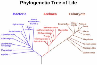 Pohon filogenetik