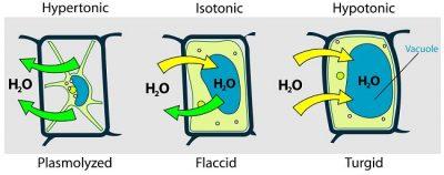 Tekanan Turgor pada sel tumbuhan