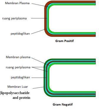 Perbedaan dinding sel bakteri gram positif dan negatif