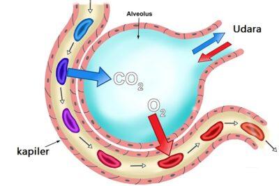 fungsi alveoli