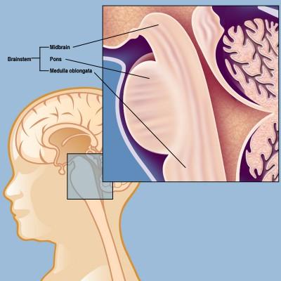 Pengertian Batang otak