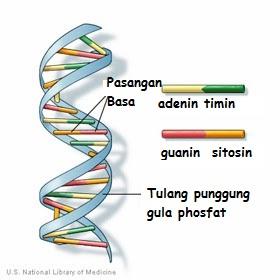 Molekul DNA