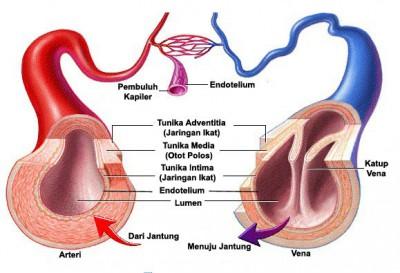 Pembuluh-arteri-vena-dan-kapiler-400x273-1