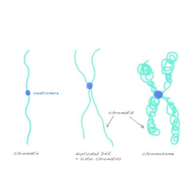 Perbedaan Antara Kromosom dan kromatid