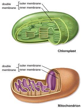 Perbedaan Antara Mitokondria dan kloroplas
