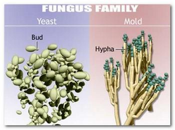 Perbedaan Antara Ragi dan Jamur 1