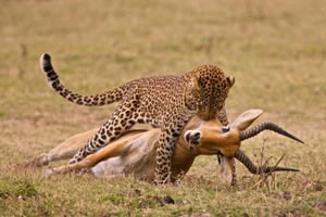 Perbedaan antara Predator dan mangsa