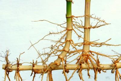 Perbedaan antara akar dan rimpang