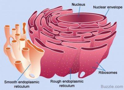 Retikulum-endoplasma kasar