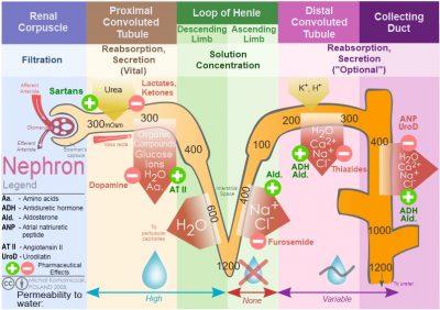 Pengertian dan organ Sistem Ekskresi pada manusia dan fungsinya