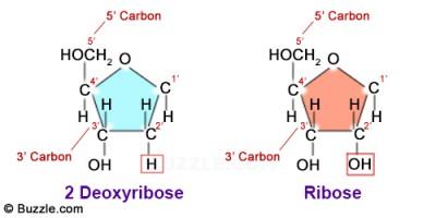 Perbedaan deoksiribonukleotida dan ribonukleotida
