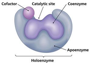 kofaktor dan koenzim