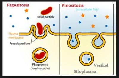 Perbedaan Antara pinositosis dan Fagositosis