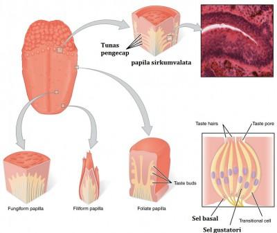 Bagian-bagian lidah dan fungsinya