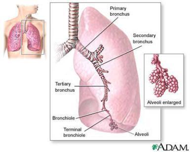 Struktur dan fungsi bronkiolus