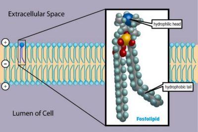 Apakah fungsi Fosfolipid