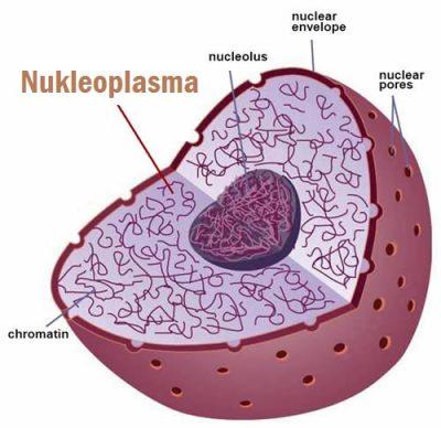 Apakah fungsi Nukleoplasma dalam nukleus