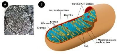 Gambar mitokondria