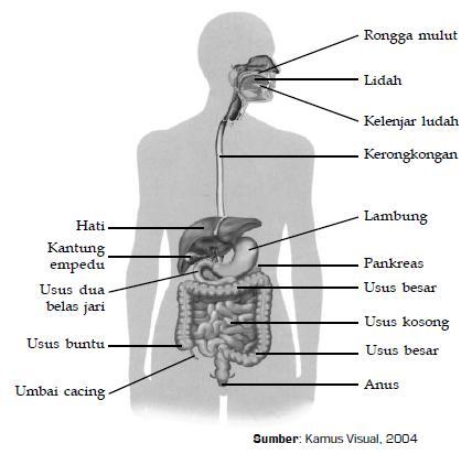 Gambar 6.5 Jalur pencernaan makanan pada manusia