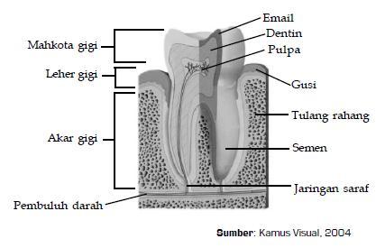 Gambar 6.8 bagian Gigi