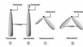Macam-macam Bentuk Kromosom Berdasarkan Sentromernya
