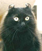 telinga kucing