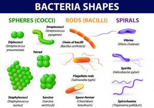 jenis bakteri menurut bentuk