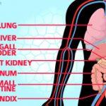 Organ bagian kanan tubuh manusia