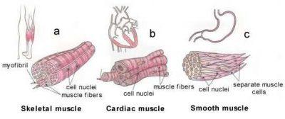 Perbedaan Antara Otot Lurik dan Otot Polos