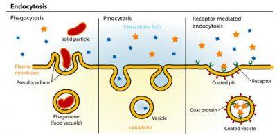 Perbedaan antara Endositosis dan Fagositosis
