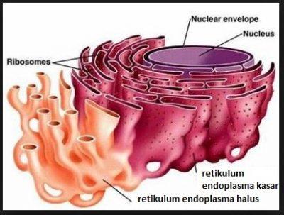 Pengertian Retikulum endoplasma kasar dan halus 1