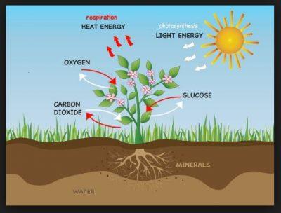 Hormon pada tumbuhan dan fungsinya