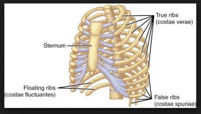 Tulang-Tulang yang Menyusun Tulang Rusuk