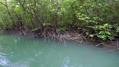 14 Fungsi Hutan Bakau dan manfaat dalam kehidupan