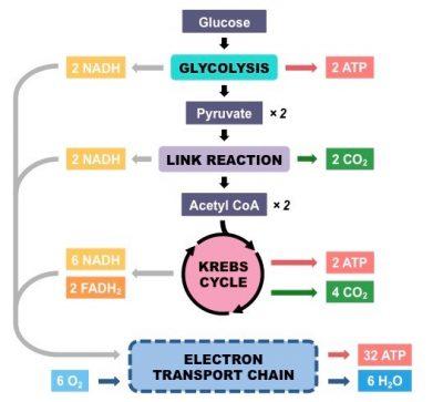 Penjelasan 4 langkah Respirasi aerob secara singkat