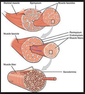 3 Jenis Otot polos, rangka dan otot jantung