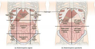 Pengertian Rongga abdominal dan isi organ di dalamnya