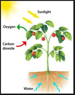 Mengapa Hanya Tumbuhan Hijau Yang Dapat Melakukan Fotosintesis?