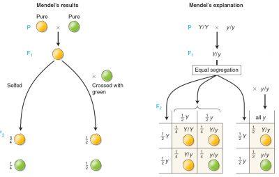 Sebutkan dan jelaskan Hukum segregasi Gregor Mendel