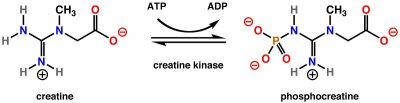 Pengertian Kreatin Kinase, Struktur dan fungsi Kreatin Kinase